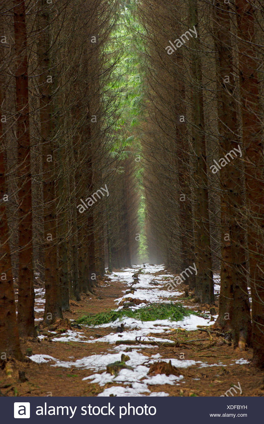 Norway spruce (Picea abies), snow slush in a spruce plantation, Germany - Stock Image