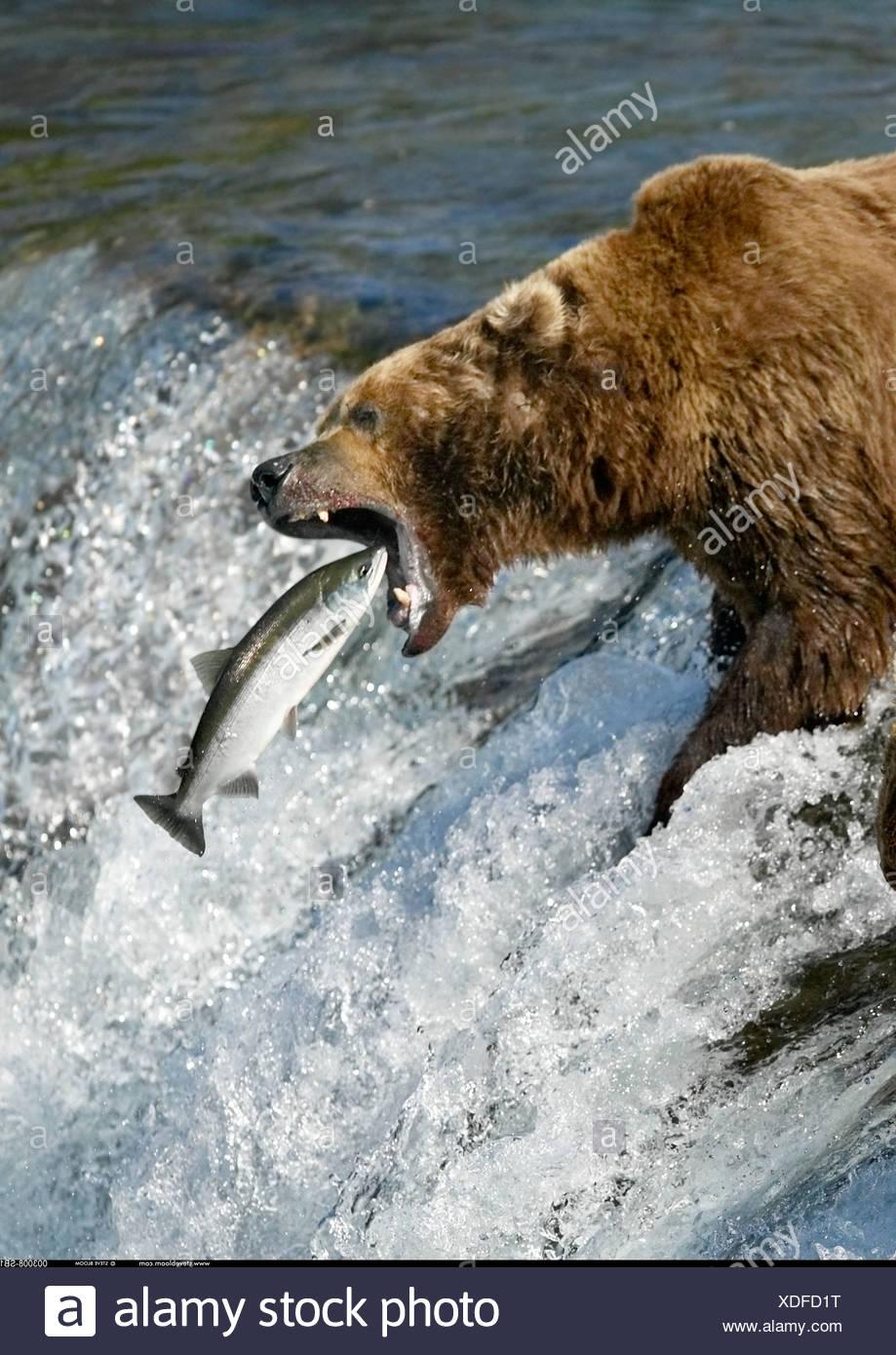Brown Bear catching salmon Brooks Falls Katmai National Park Alaska - Stock Image