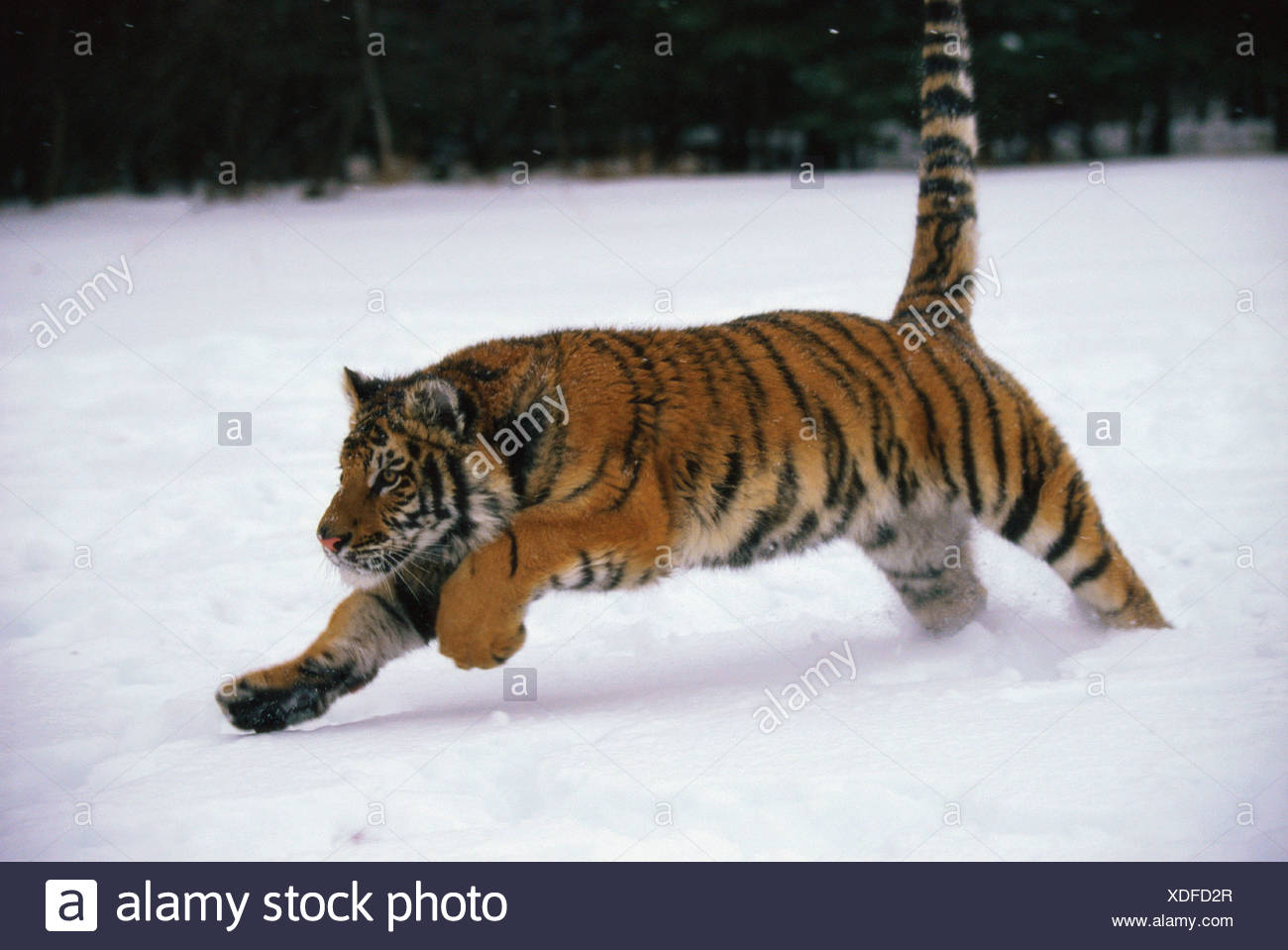 Tiger Running In Snow Best Lion And Tiger 2018
