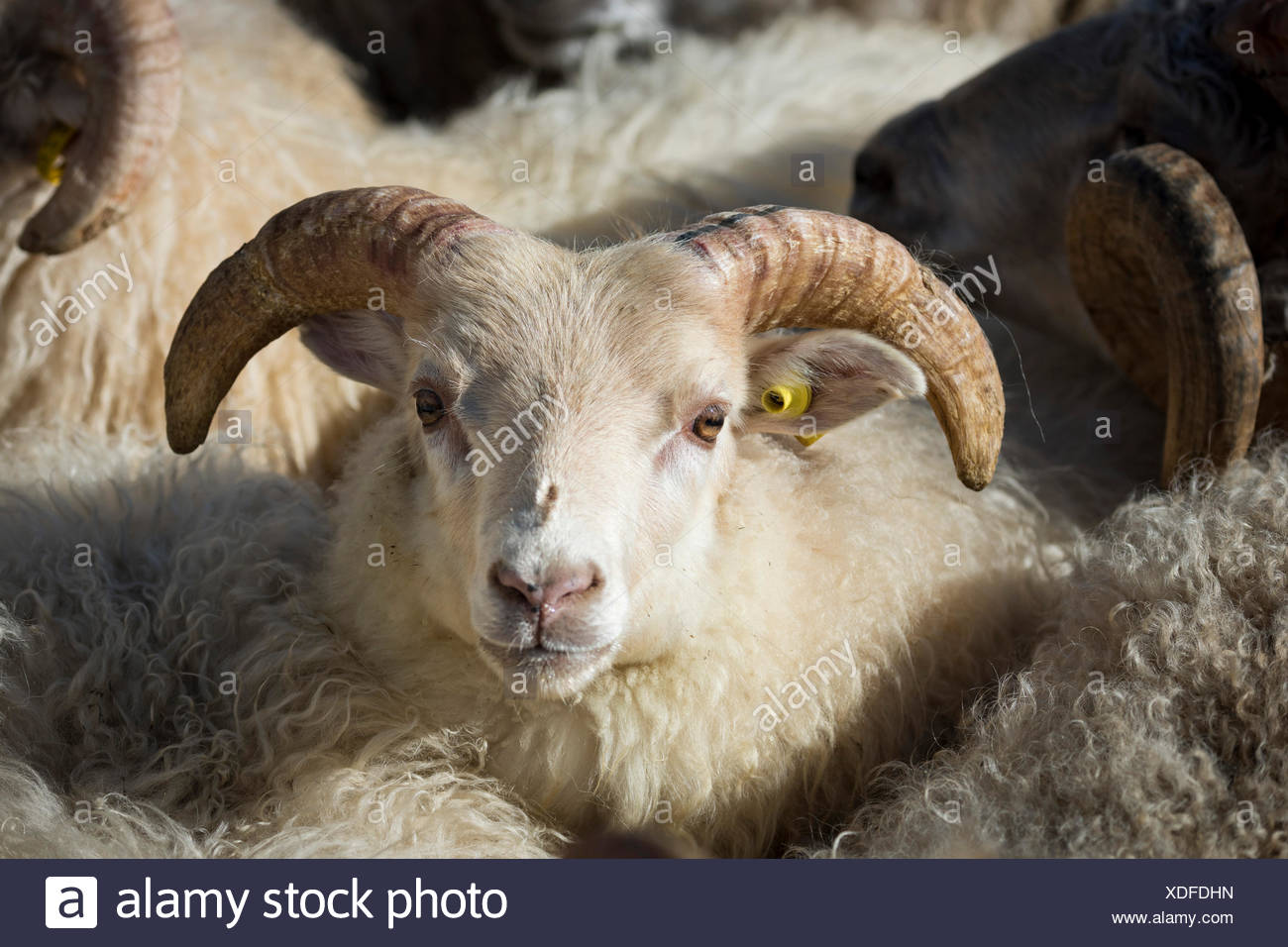 Sheep with ear tag, sheep transhumance, near Höfn, Iceland - Stock Image