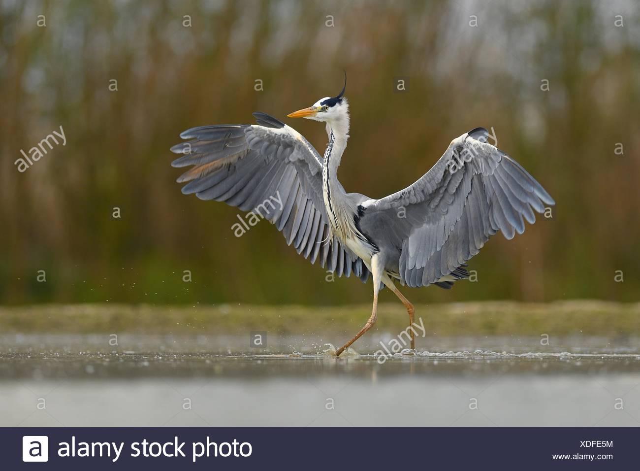 Grey heron (Ardea cinerea), walks in the water, National Park Kiskunsag, Hungary Stock Photo