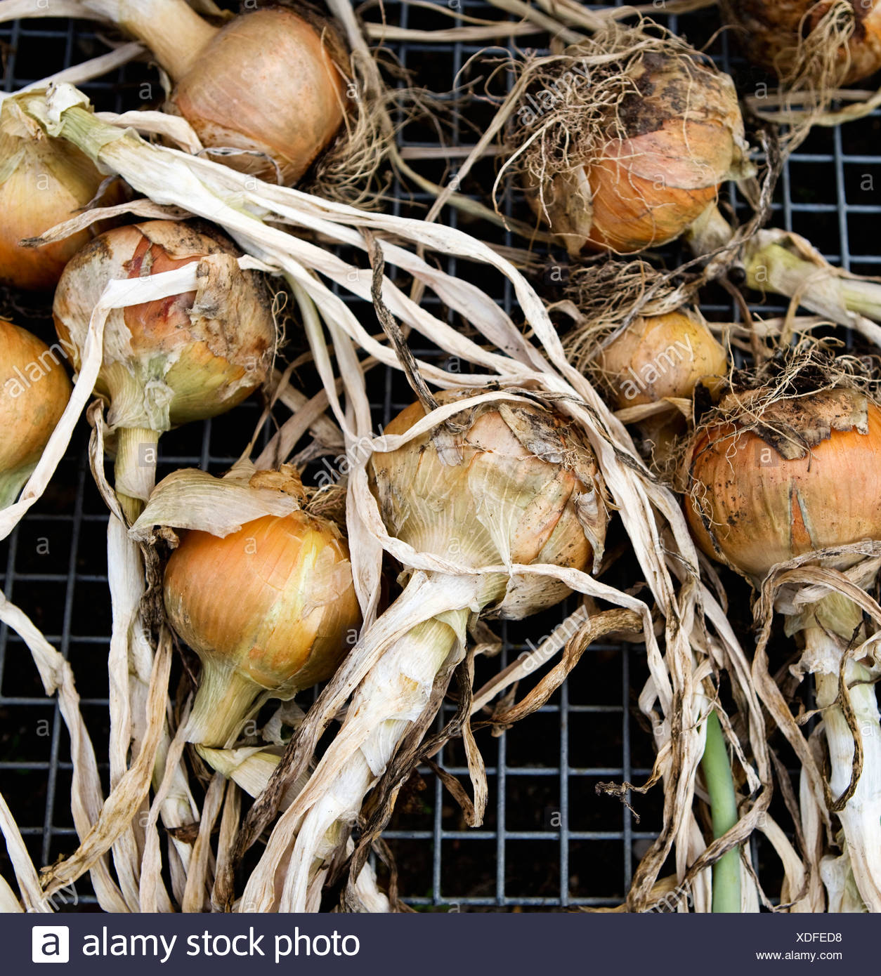 Onions laid out on a metal grill - Stock Image