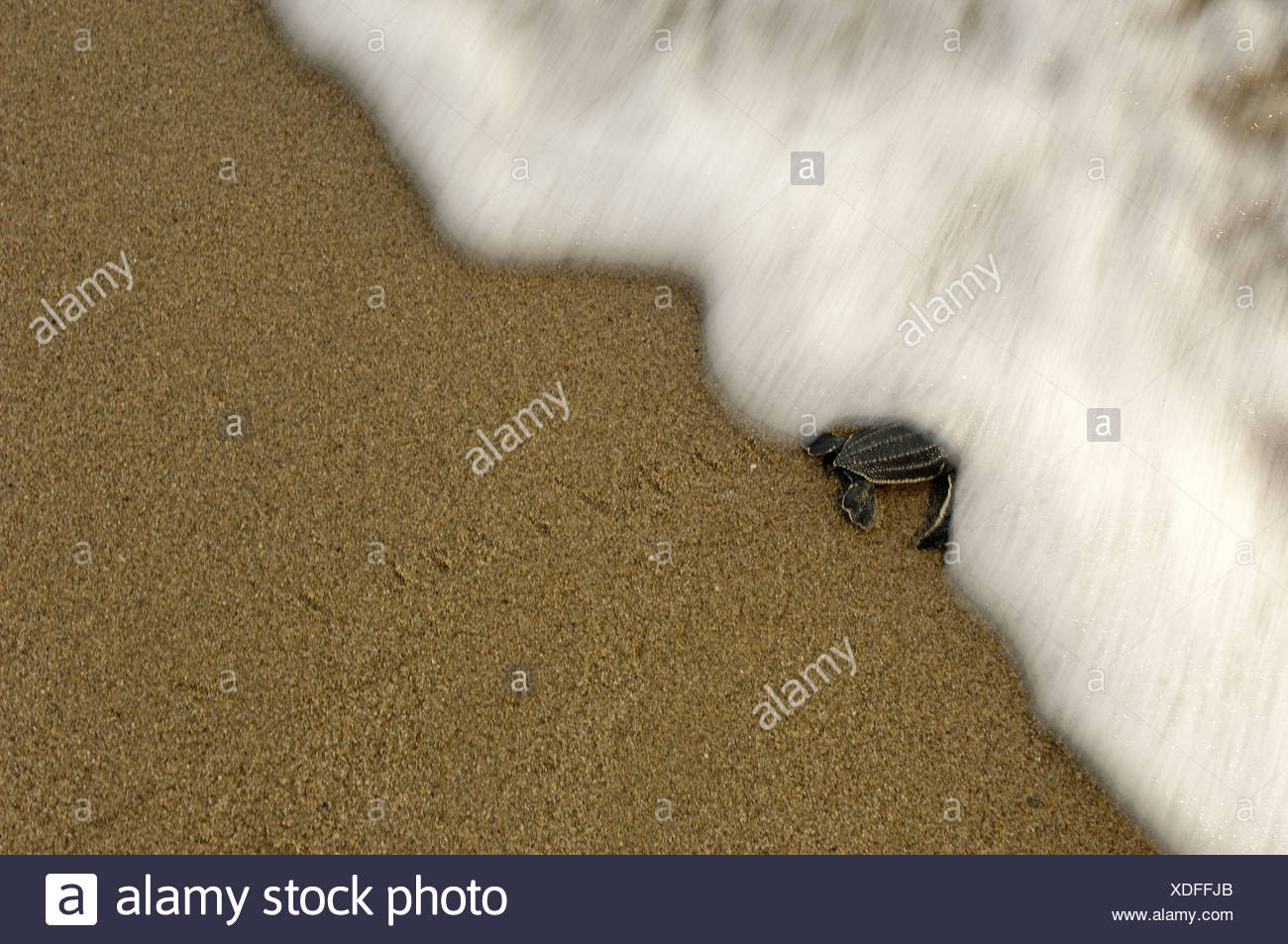 A leatherback turtle hatchling crawls to the sea. - Stock Image