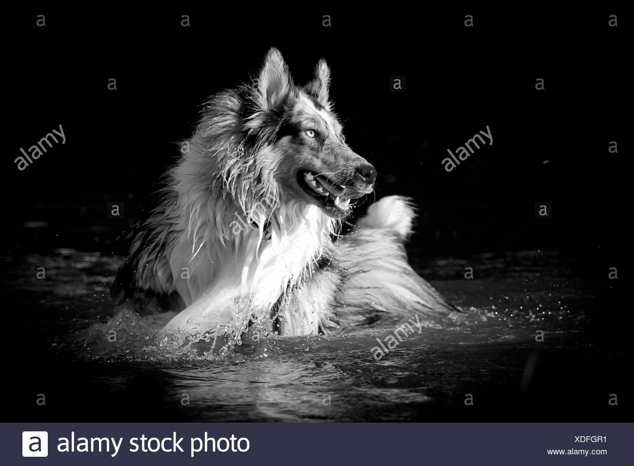 bathing longhaired Collie - Stock Image