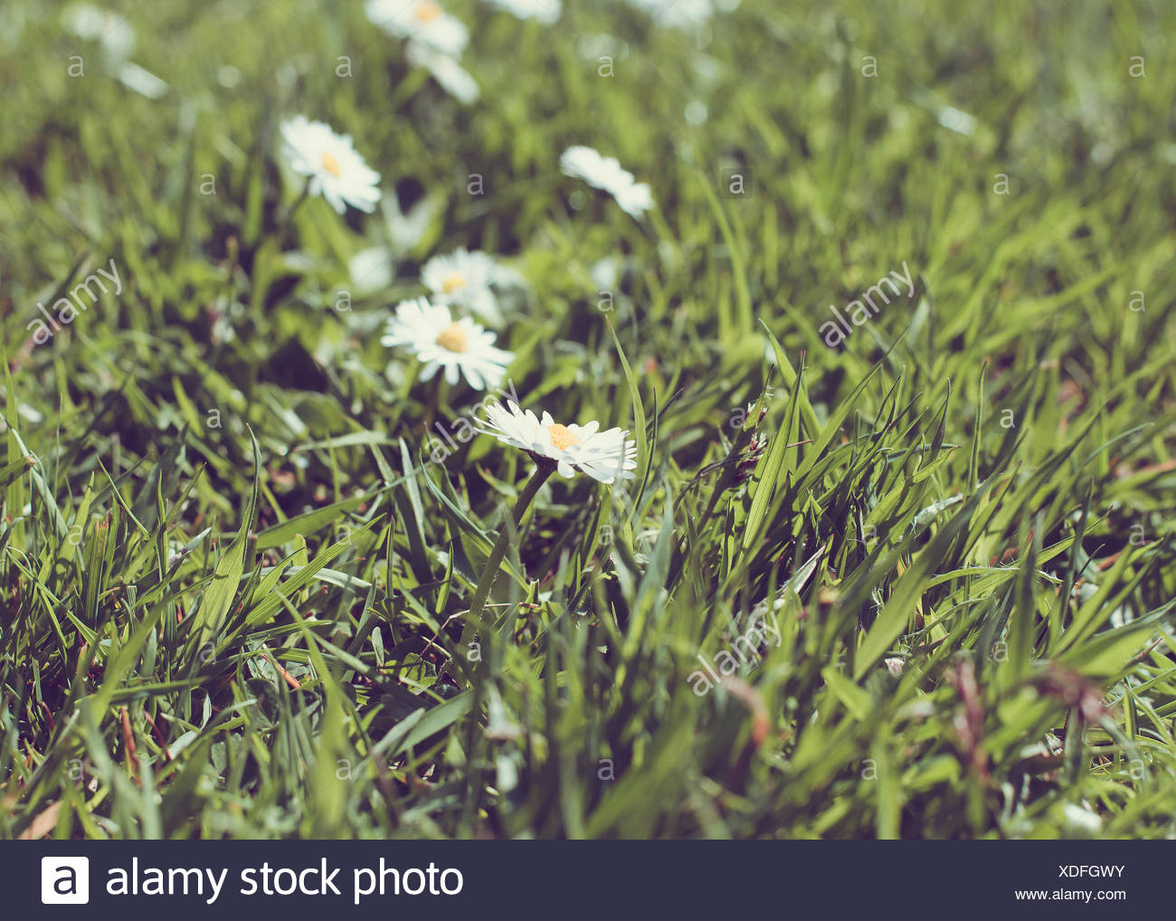 Daisies in meadow - Stock Image