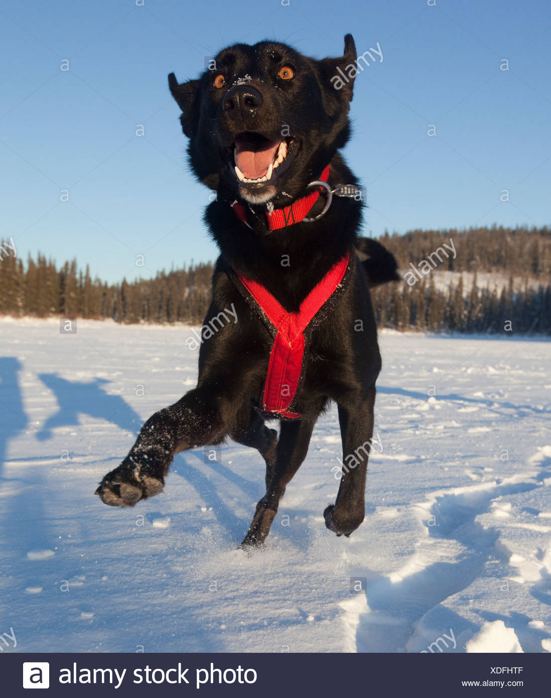 Playing sled dog, Alaskan Husky, in harness, Yukon Territory, Canada - Stock Image