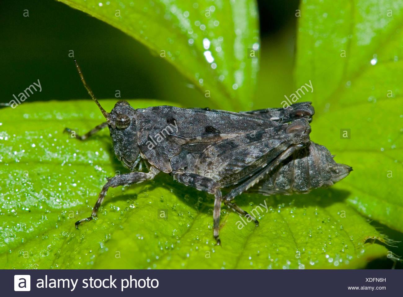 Twospotted groundhopper (Tetrix bipunctata), sitting on a leaf, Germany - Stock Image