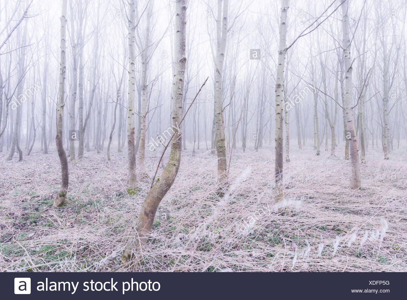 Wood, fog, morning, trunks, tree, grass, atmosphere, bright, mauve, unbowed - Stock Image