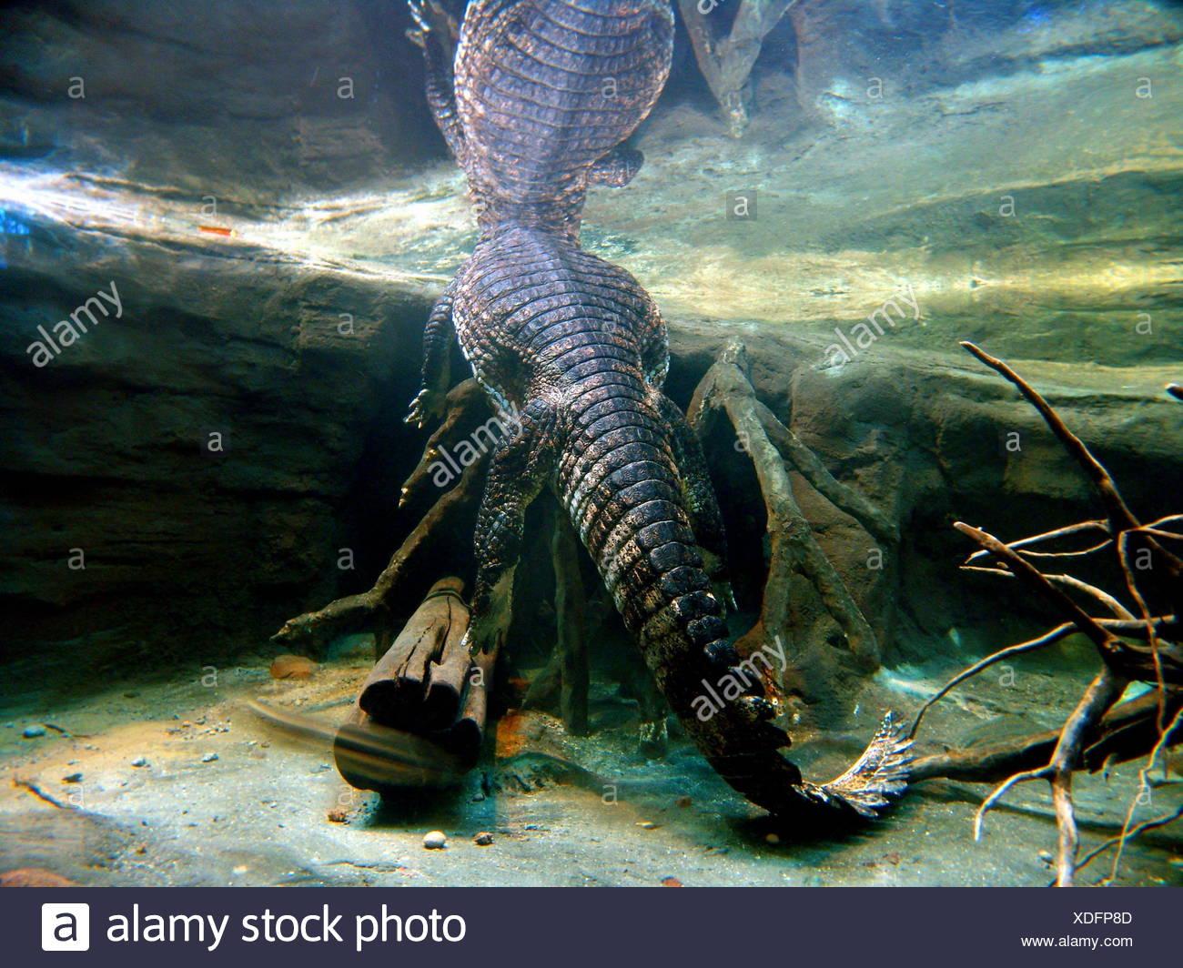 crocodile mirroring tail reptiles water swimming swiming swim swims to do the - Stock Image