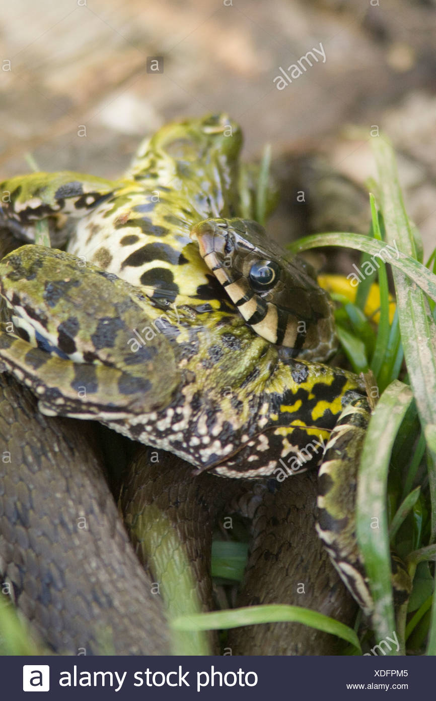Een Ringslang heeft een forse Bastaardkikker gevangen en heeft grote moeite om deze prooi naar binnen te werken. A Grass Snake just caught a large Green Frog and is struggling to swallow this oversized prey. Stock Photo