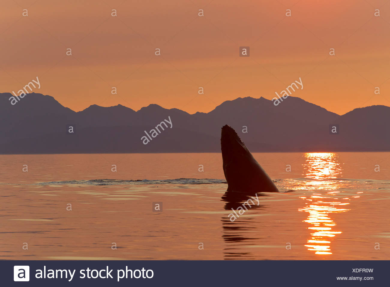 A Humpback Whale calf plays on the surface of Frederick Sound at sunset, Inside Passage, Alaska - Stock Image