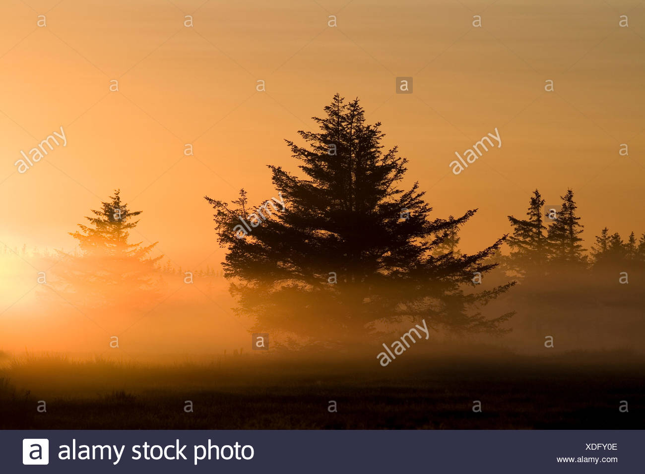Norway spruce (Picea abies), Norway spruces in morning sun , Denmark, Midtjylland, Jylland - Stock Image