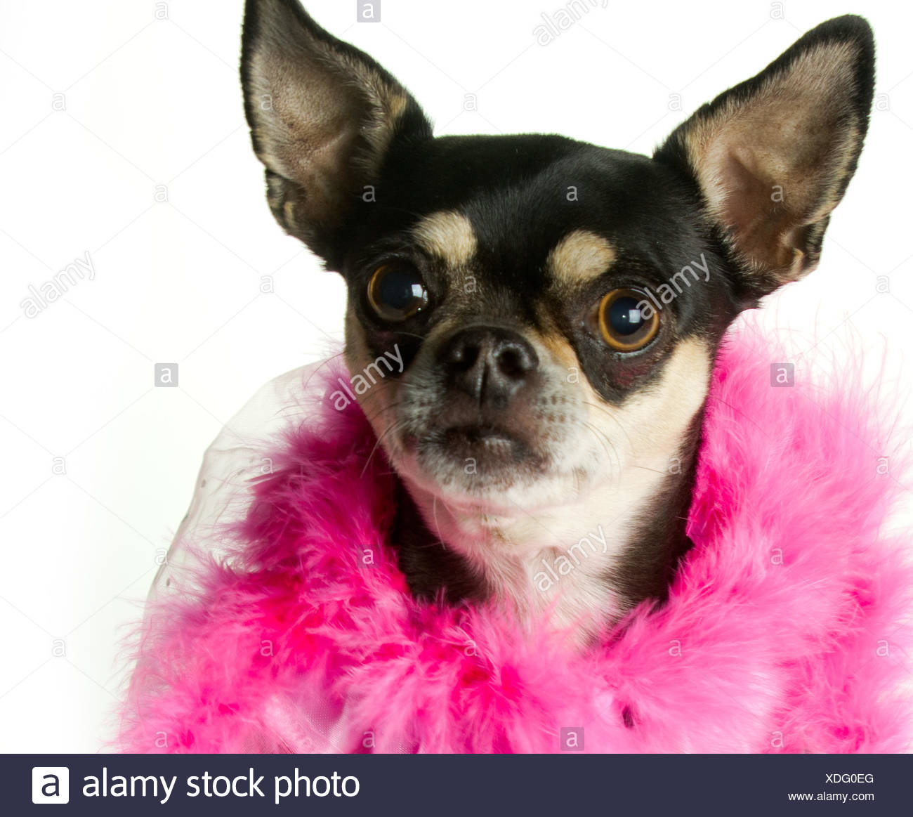 Dog Dogs Feathers Puppy Chihuahua Chihuahuas Cute Dog Doggy