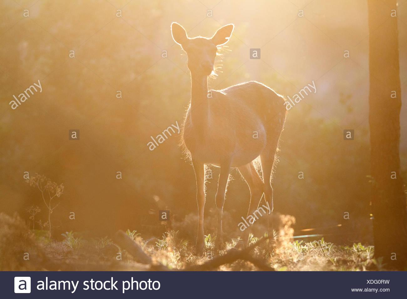 Tuscan, Italy. Roe Deer. - Stock Image