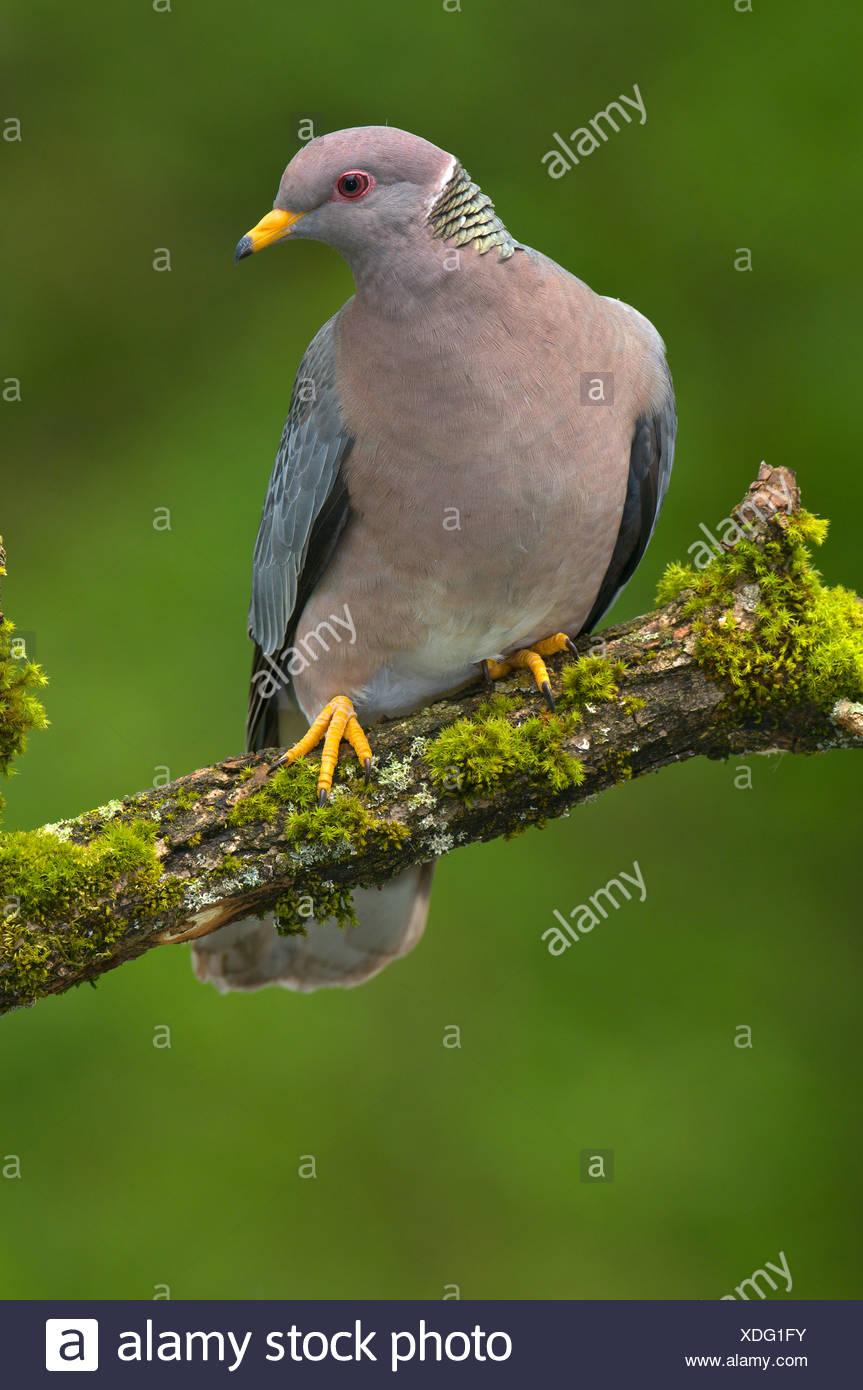 Band-tailed pigeon (Patagioenas fasciata) on perch in Victoria, Vancouver Island, British Columbia, Canada - Stock Image