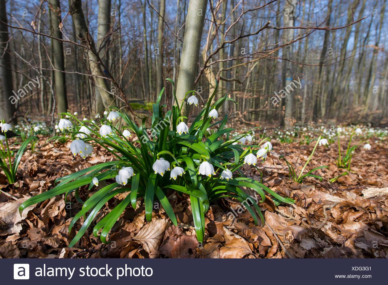spring snowflake (Leucojum vernum), wild plants blooming, Germany - Stock Image