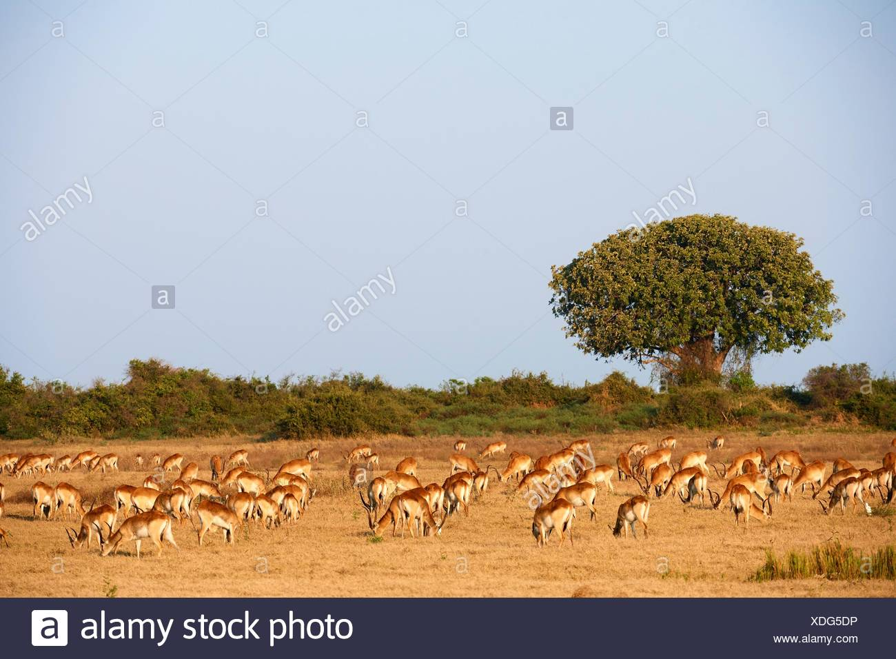 Red lechwe herd grazing (Kobus leche). Duba Plains concession, Okavango delta, Botswana, Southern Africa. - Stock Image