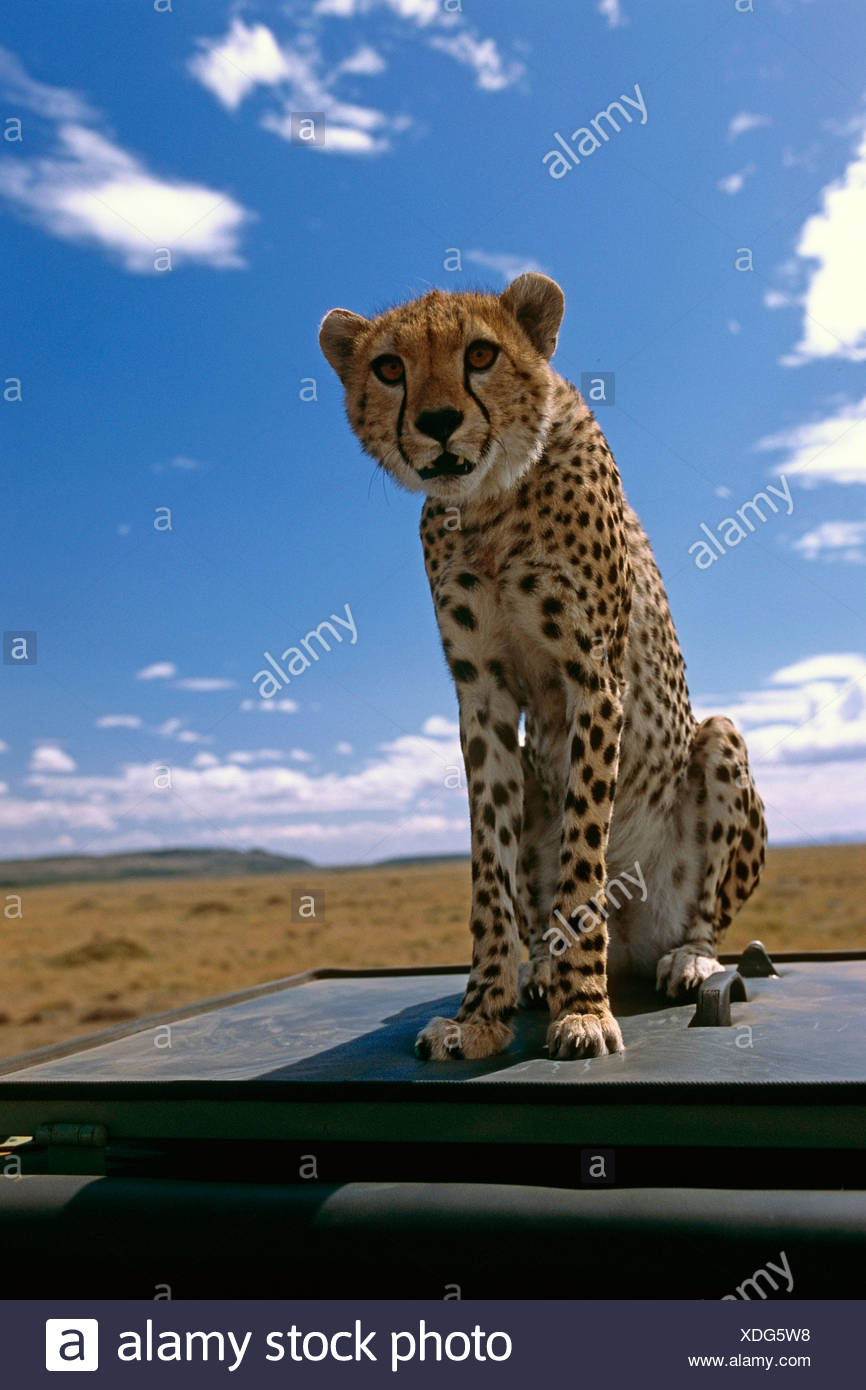 Young spotted Cheetah sitting ontop of vehicle Africa Stock Photo