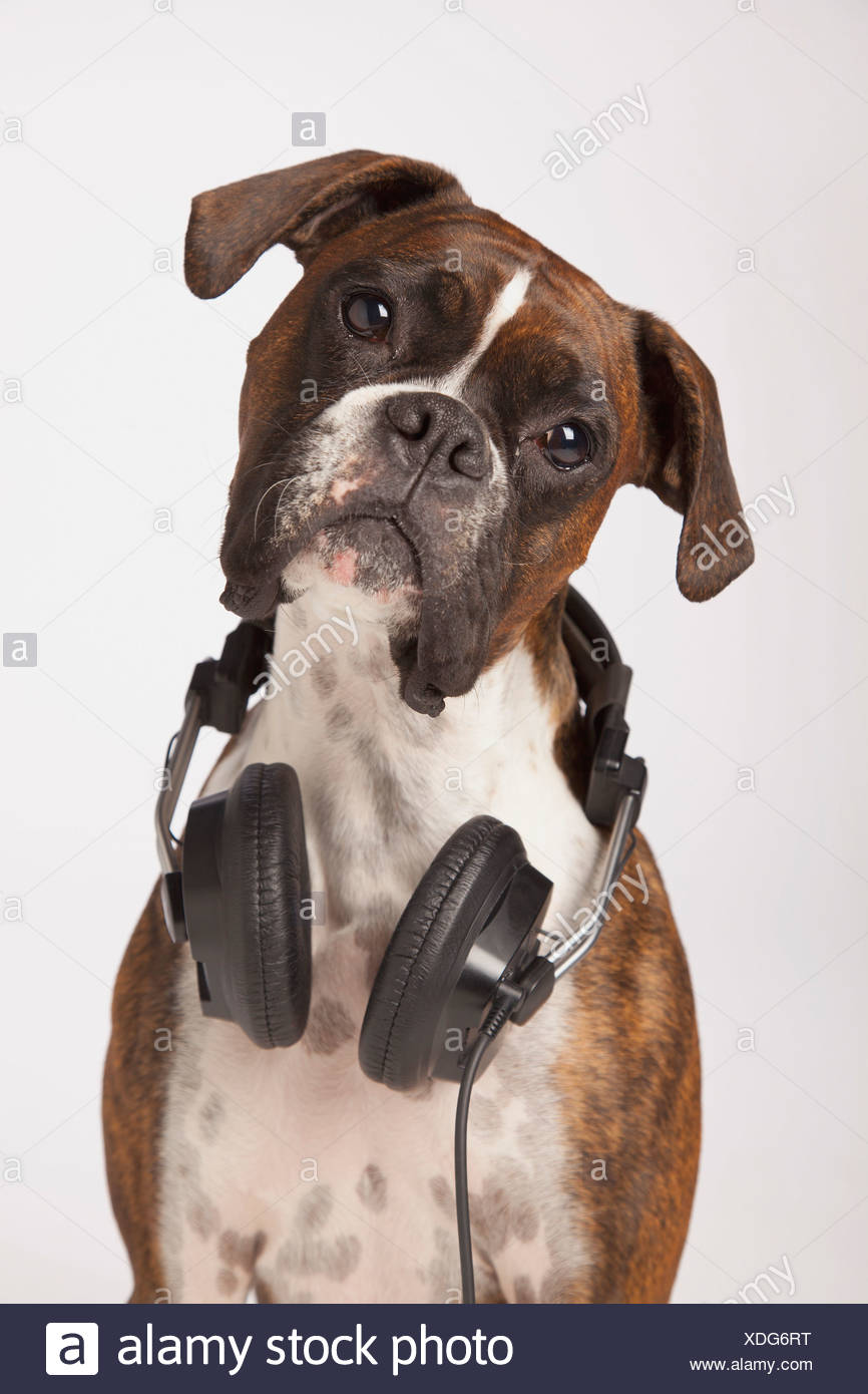 Boxer Dog With Headphones - Stock Image