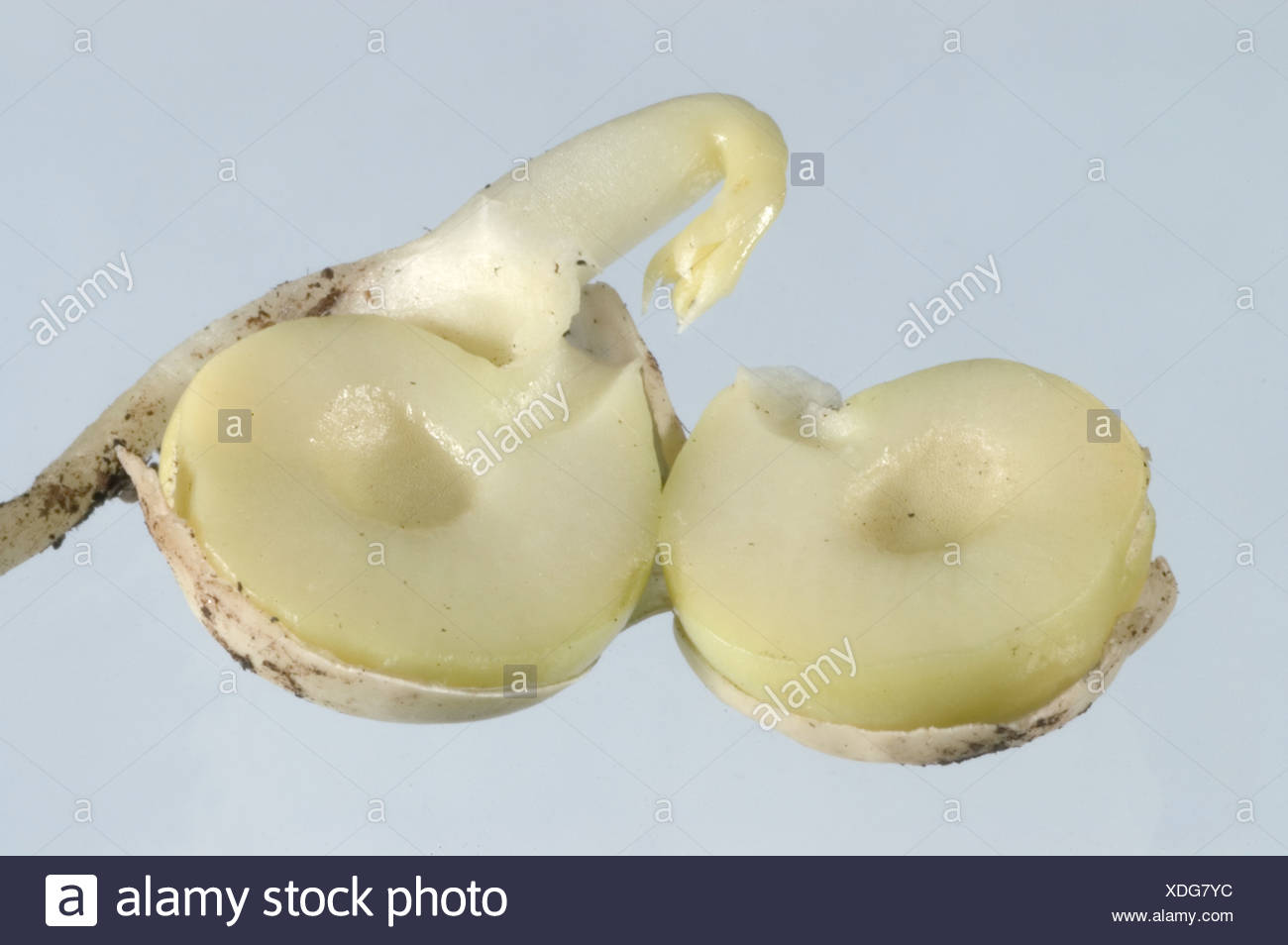 Germinating pea seed to show hollow heart disorder - Stock Image
