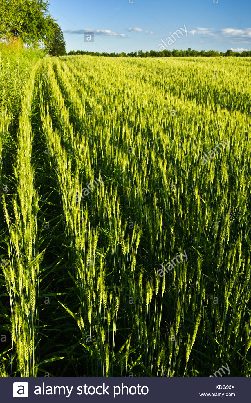 Agriculture - Field of maturing headed out 2-row barley / near Curran, Ontario, Canada. - Stock Image