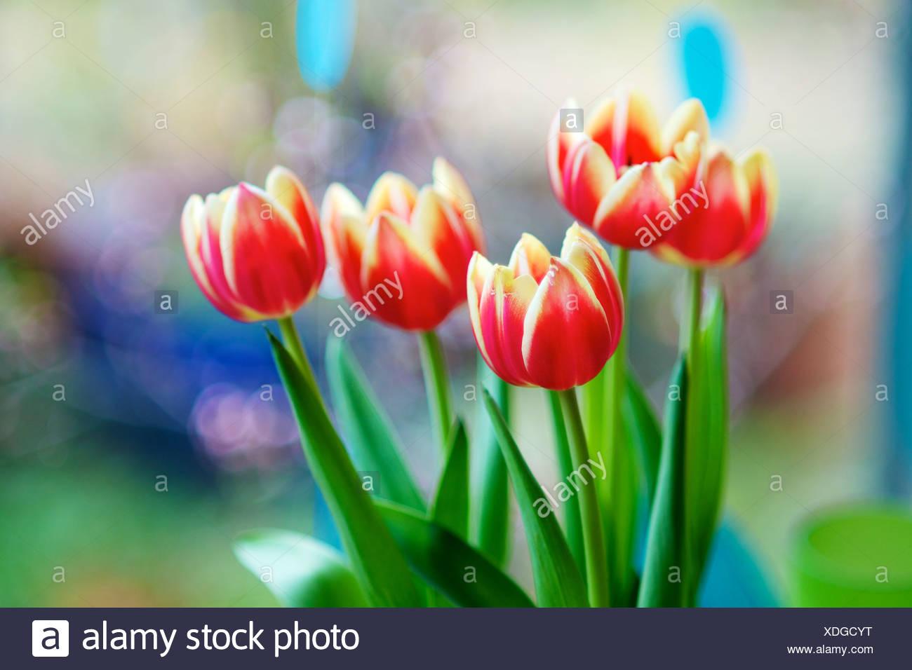 Apeldoorn Elite tulips, Tulipa Apeldoorn Elite - Stock Image
