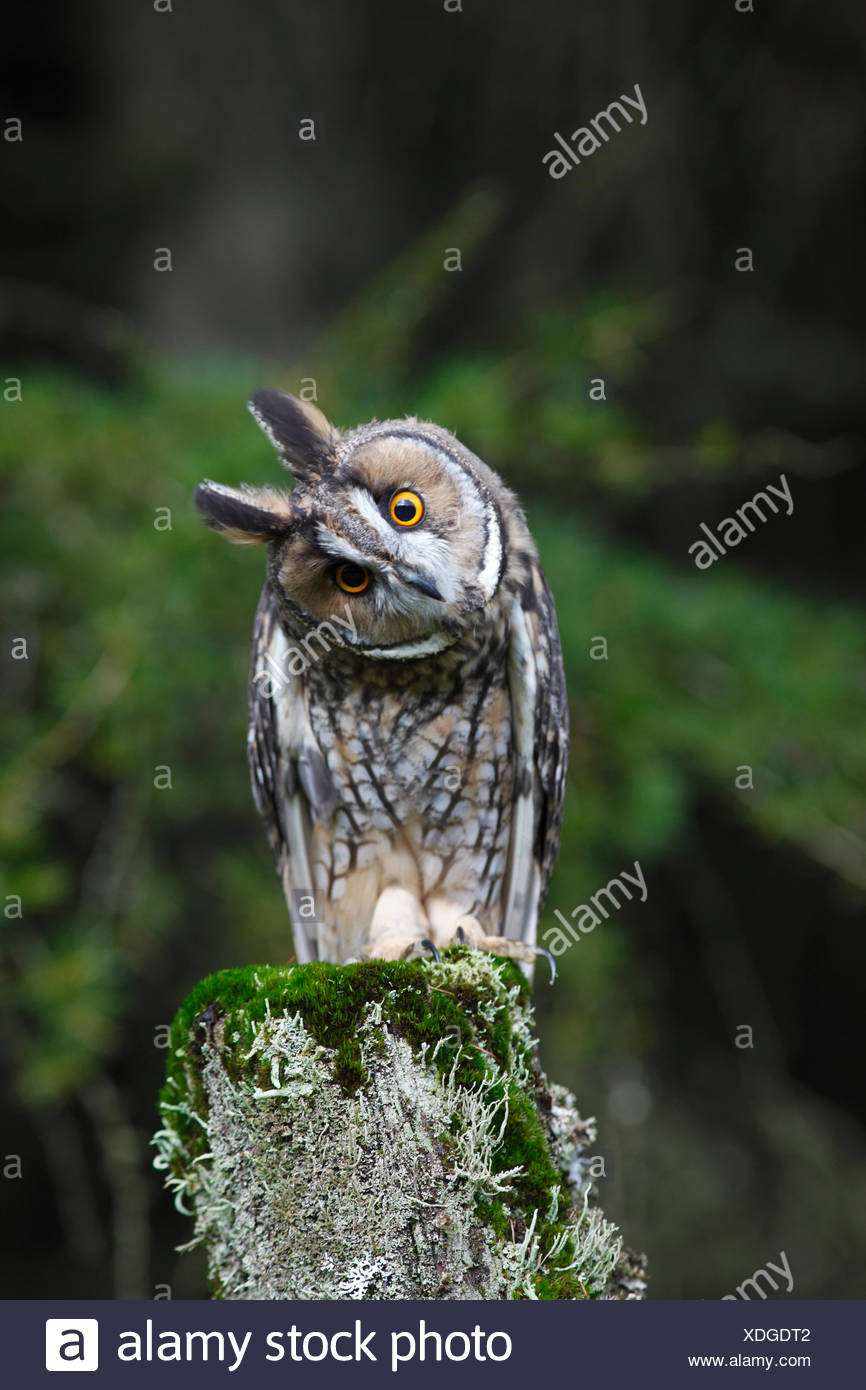 Long eared owl (Asio otus) perched on fence post, head cocked on one side, Wales - Stock Image