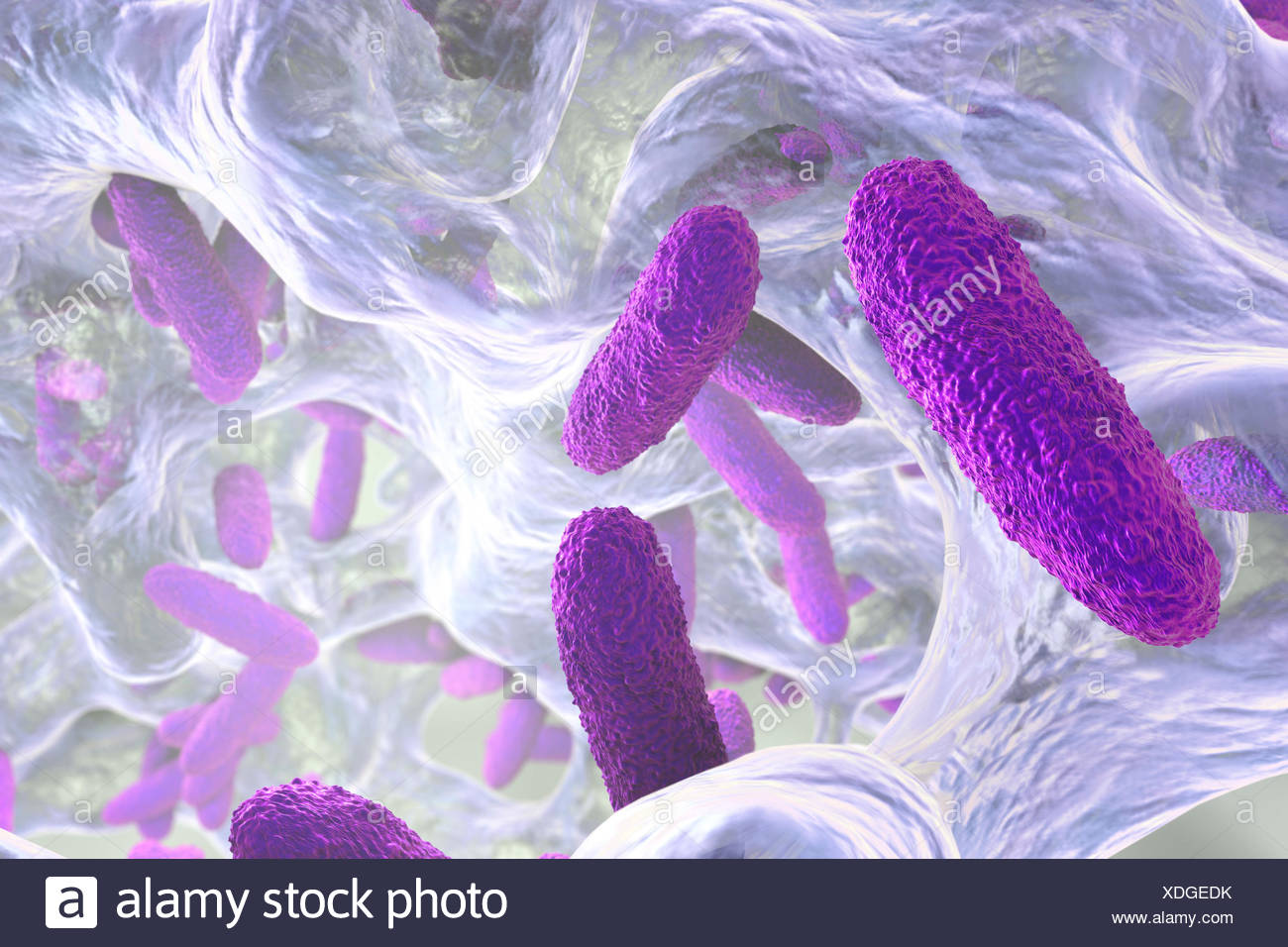 Klebsiella pneumoniae bacteria in biofilm,computer illustration.K.pneumoniae are Gram-negative,encapsulated,non-motile,enteric,rod prokaryote.This species causes Friedlander's pneumonia urinary tract infections.K.pneumoniae's pathogenicity can be attributed to its production of heat-stable - Stock Image