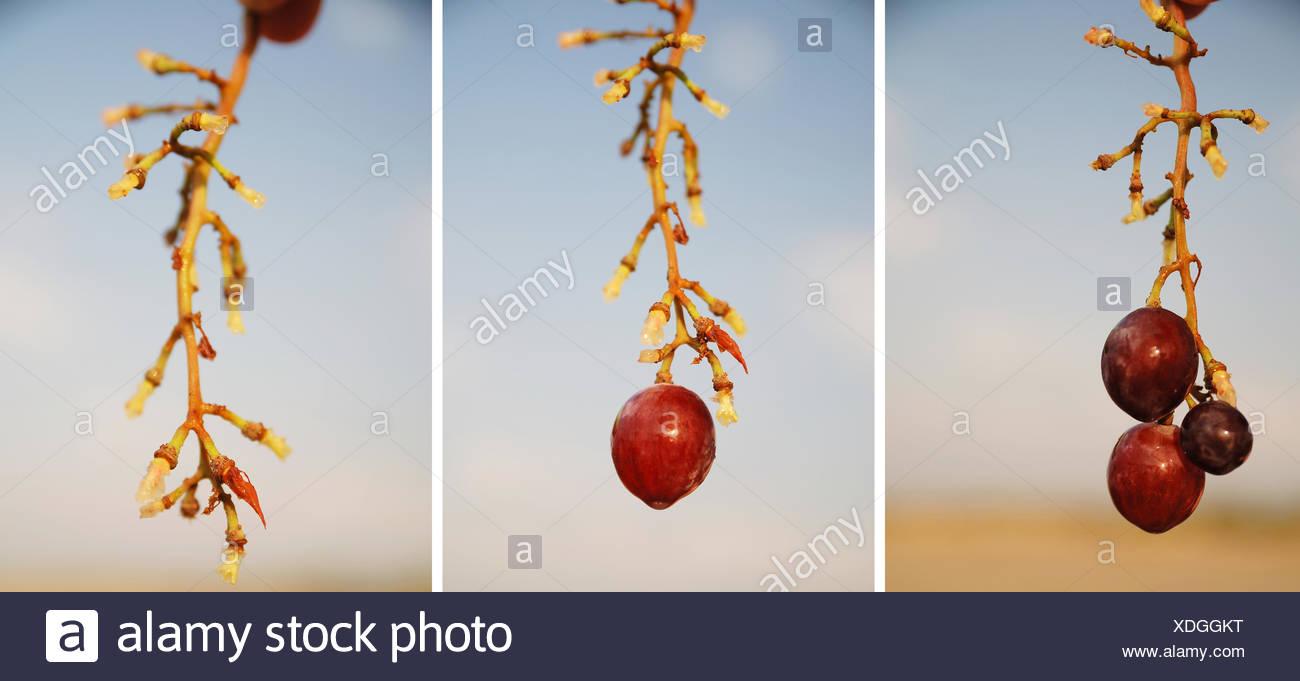 grape serie - Stock Image