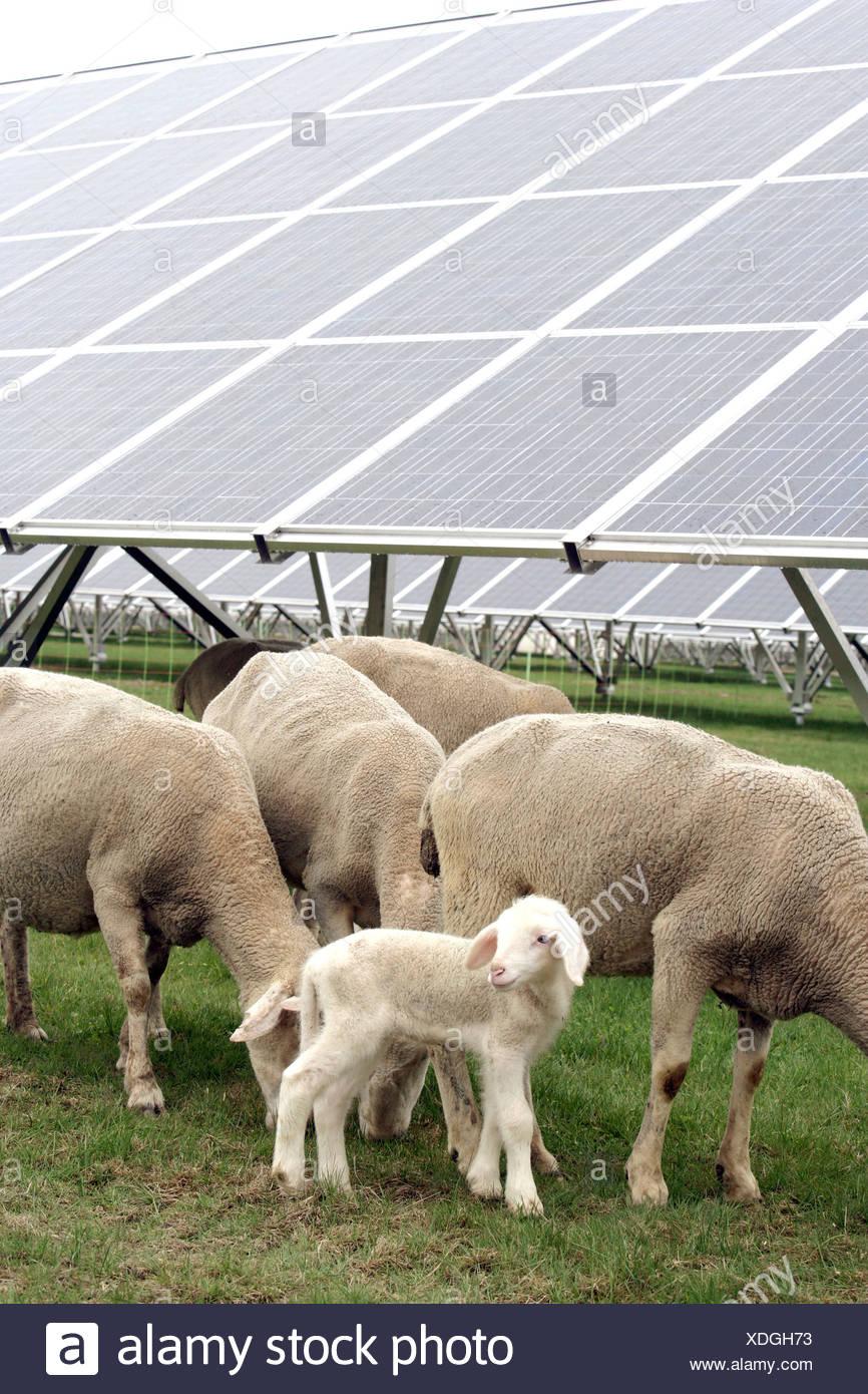 Merino Sheep grazing beneath solar panels in a Solar Power Plant in Pocking, Bavaria, Germany, Europe - Stock Image