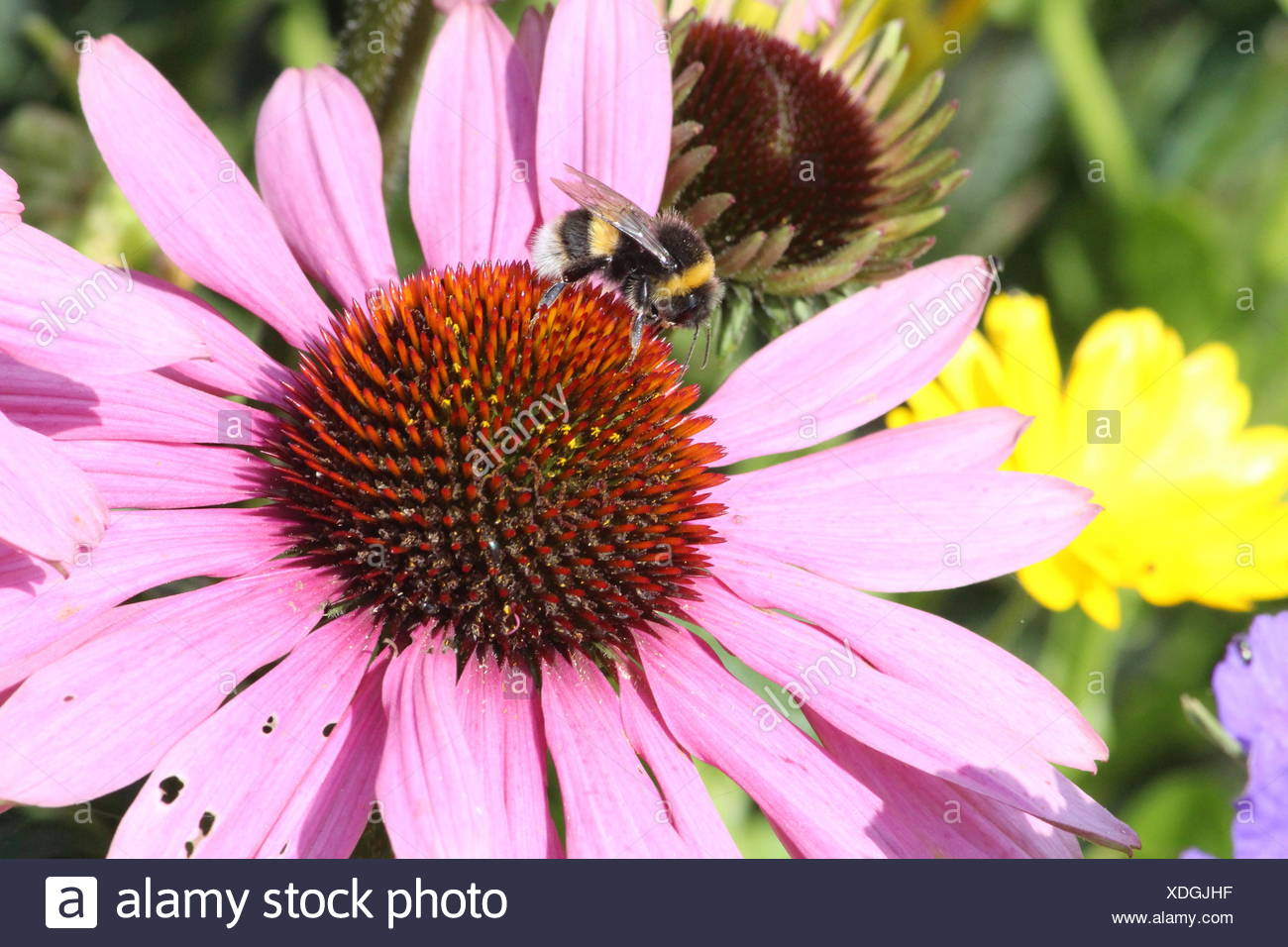 Close-Up Of Bumblebee On Eastern Purple Coneflower - Stock Image