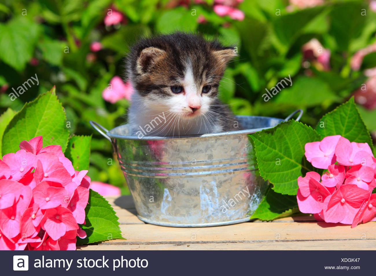 3 weeks, flower, flowers, garden, house, home, Animal, domestic animal, pet, young, cat, jug, kitten, tiger, Tigerli, vase, tub, - Stock Image