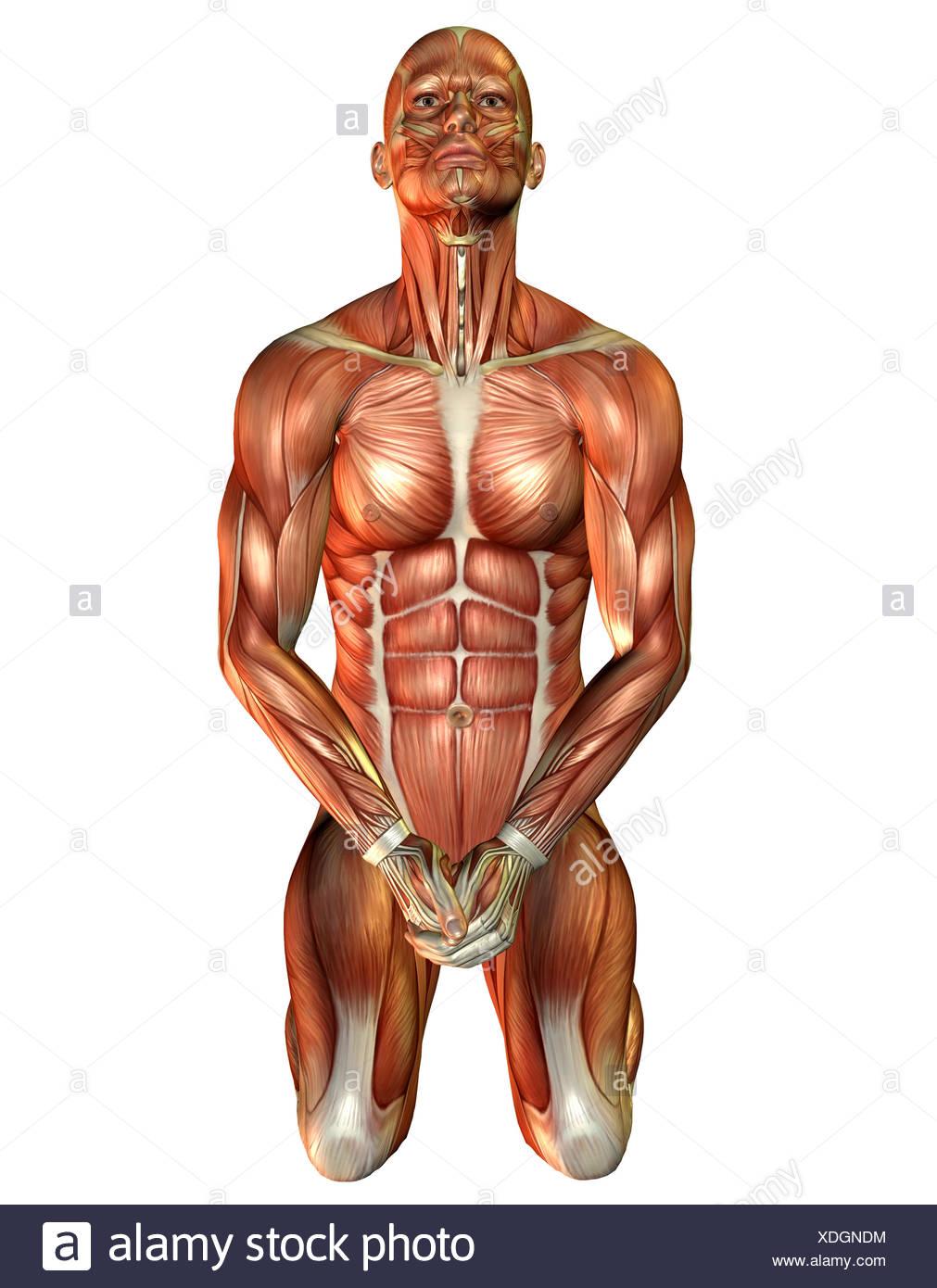 Ziemlich Studie Muskeln Anatomie Galerie - Menschliche Anatomie ...