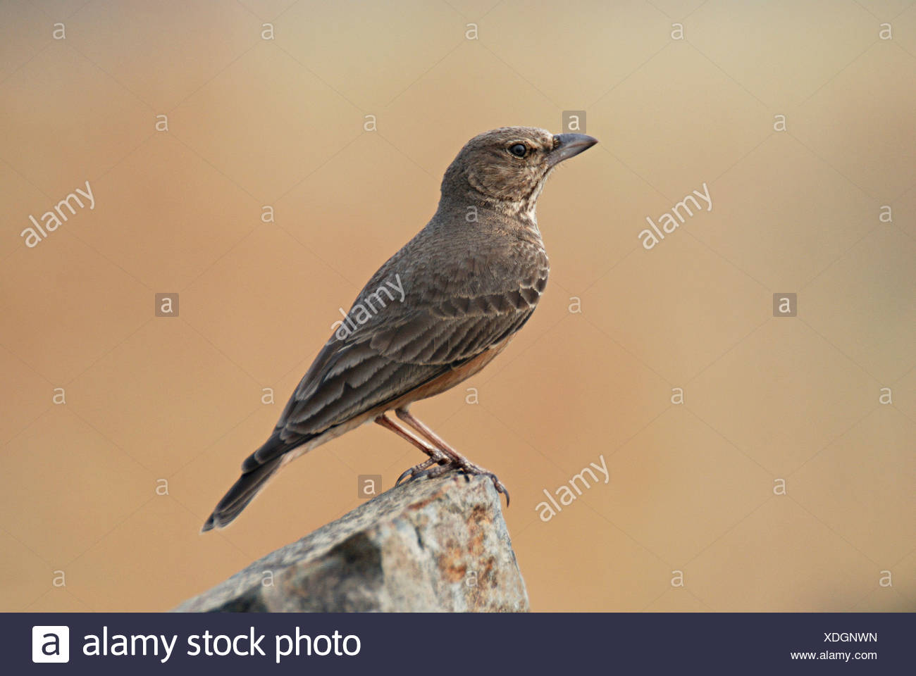 The Rufous-tailed Lark, Ammomanes phoenicurus, is a ground bird found in open stony country and low rocky hills in India. Pune - Stock Image