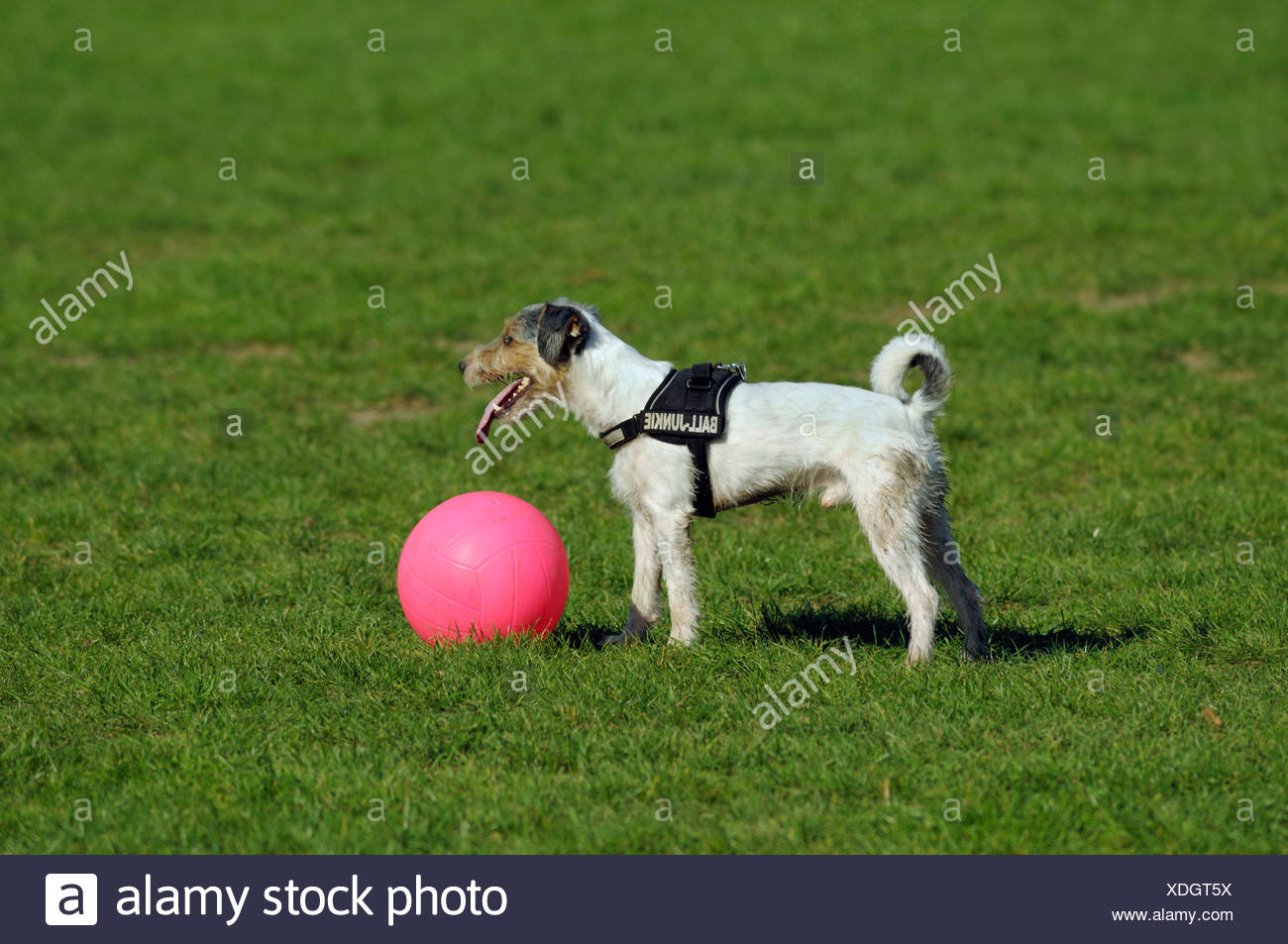 Terrier has stopped his pink ball and is waiting, panting - Stock Image