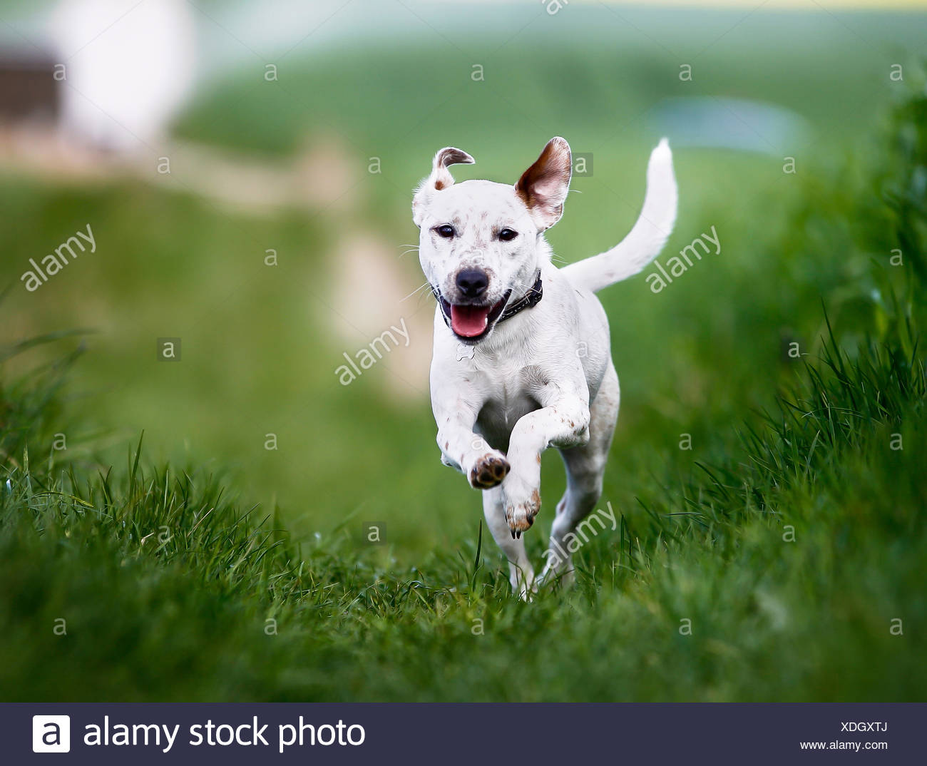 Shot of purebred dog. Taken outside on a sunny summer day. - Stock Image