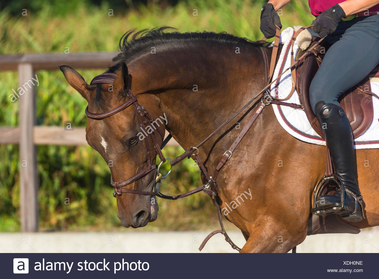 Dutch Warmblood. Rider schooling a bay horse, communicating with reins. Netherlands - Stock Image