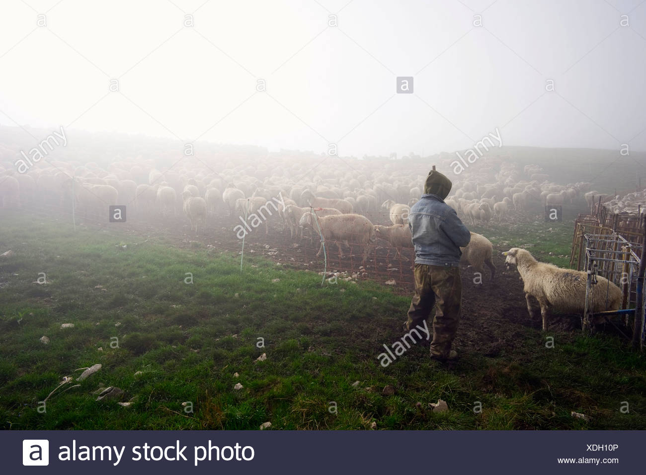Flock of sheep in the early morning in the Monte Sibillini mountains, Apennines, Le Marche, Italy, Europe Stock Photo