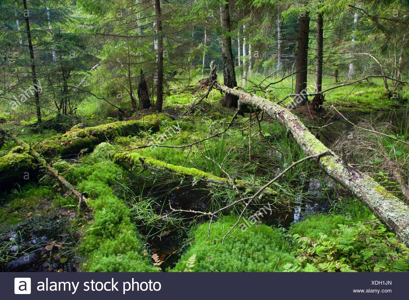 Autumnal look of swampy stand with little river flowing among spruces, Bialowieza Forest, Poland, Podlasie Province - Stock Image