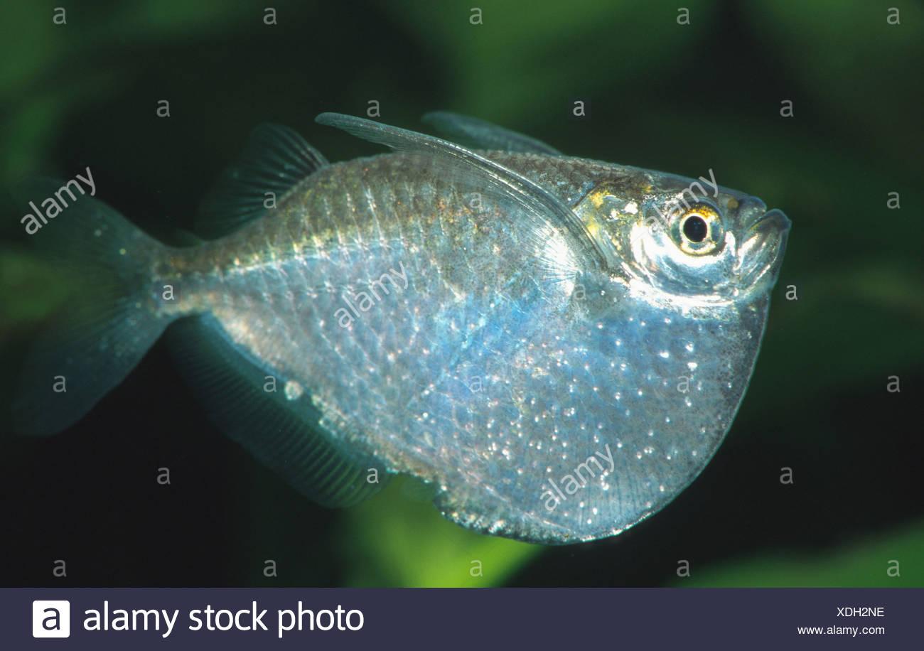 Hatchetfish | Silver Hatchetfish Stock Photos Silver Hatchetfish Stock Images