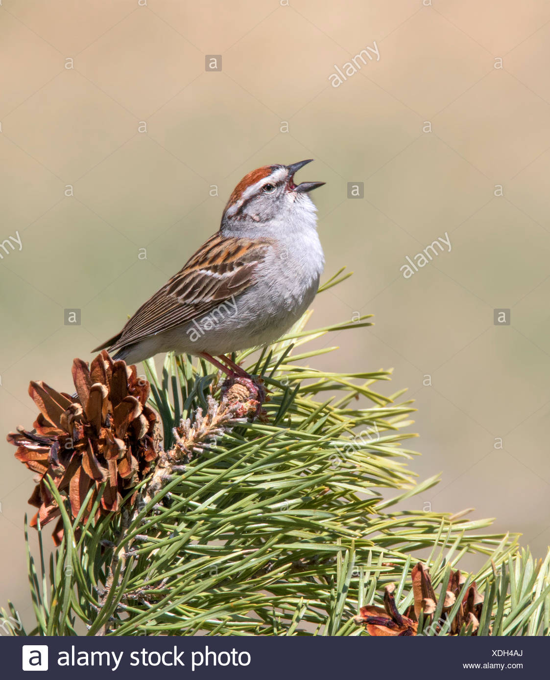 A male Chipping Sparrow, Spizella passerina, sings from a spruce tree in Saskatchewan, Canada - Stock Image