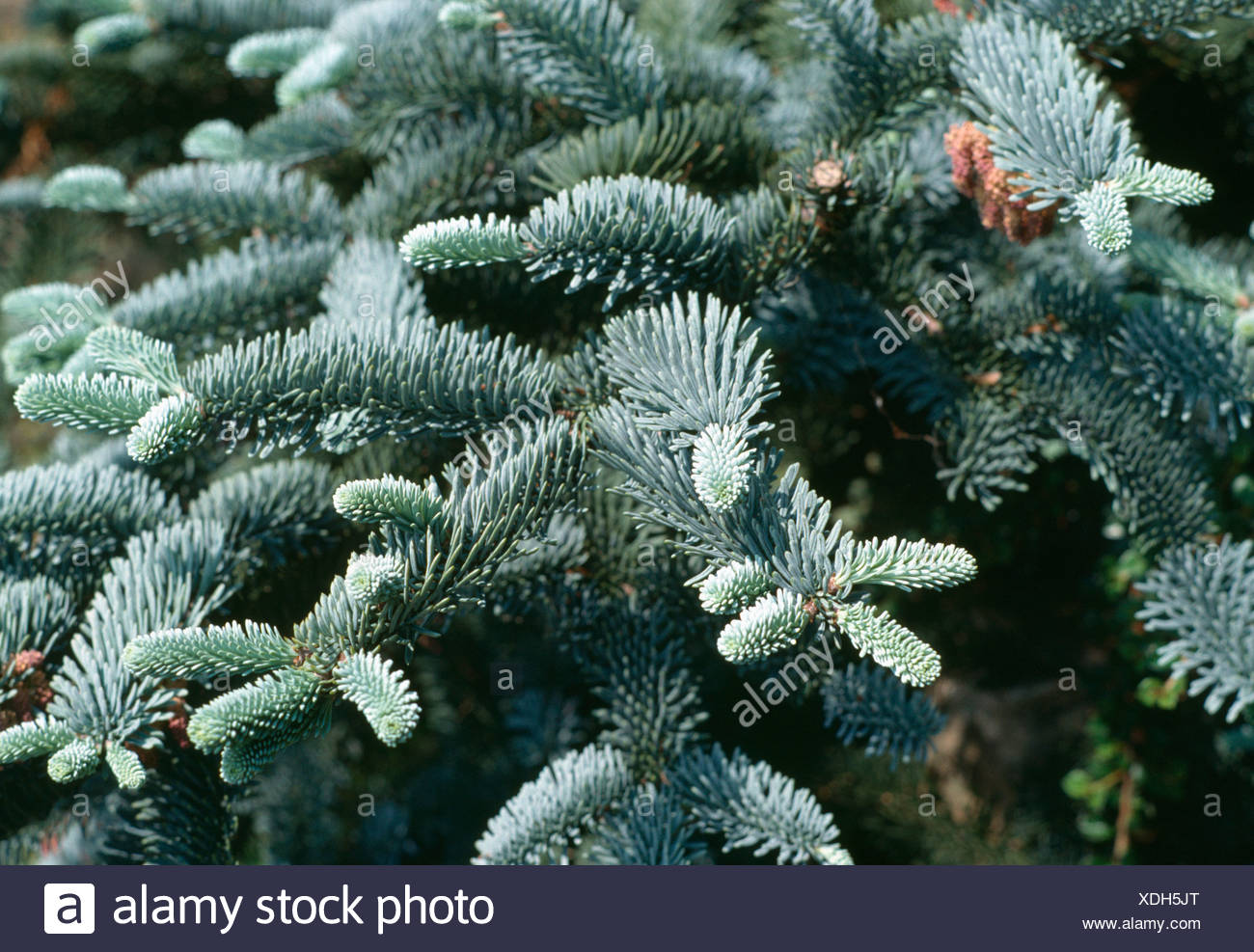 Close-up of branches of blue spruce - Stock Image