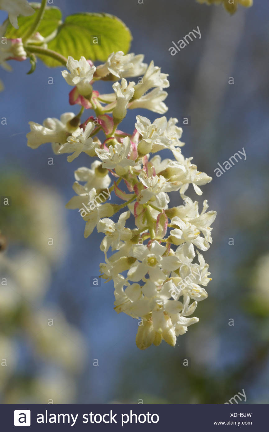 White flowering currant stock photos white flowering currant stock white flowering currant stock image mightylinksfo