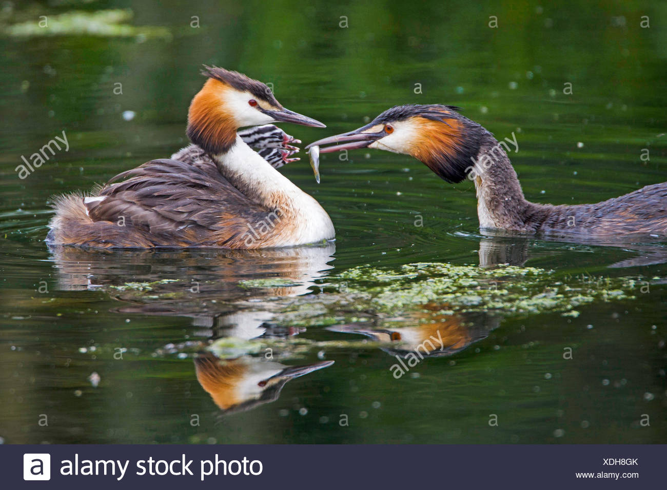 great crested grebe (Podiceps cristatus), feeding of the chicks, Germany Stock Photo