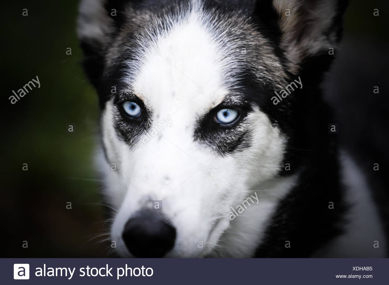 Portrait of a husky dog - Stock Image