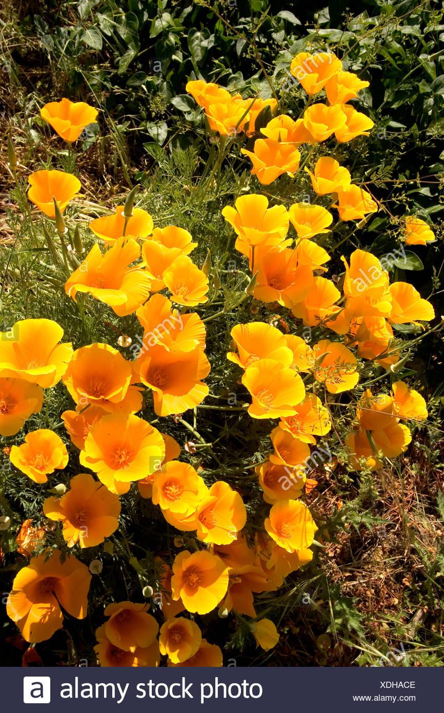 Californias state flower golden poppies growing in a garden stock californias state flower golden poppies growing in a garden stock photo 283737790 alamy mightylinksfo Gallery
