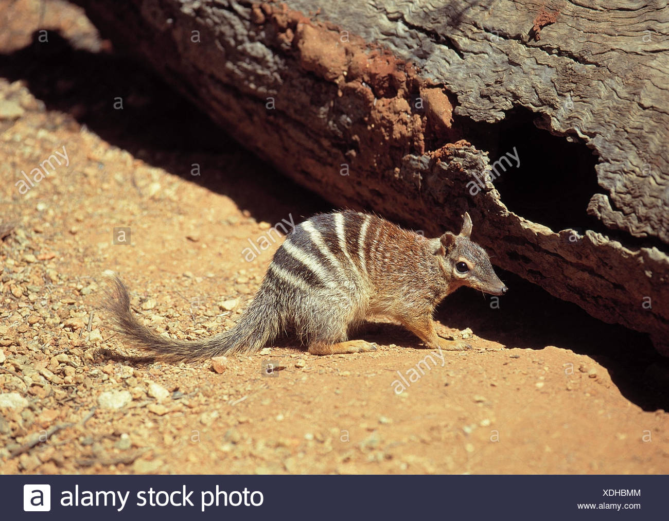 ... Ant Marsupial Numbat Myrmecobius Fasciatus Outside Mammal Mammals  Marsupials Sand Trunk Animal XDHBMM Numbathtml Numbat Animal Coloring Pages  Numbat