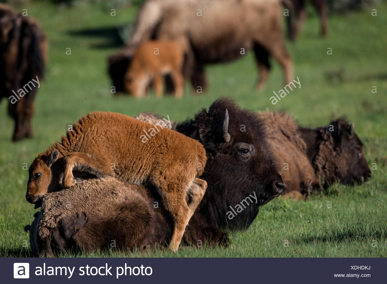 A herd of bison at Mammoth Hot Springs headquarters in Yellowstone National Park. - Stock Image