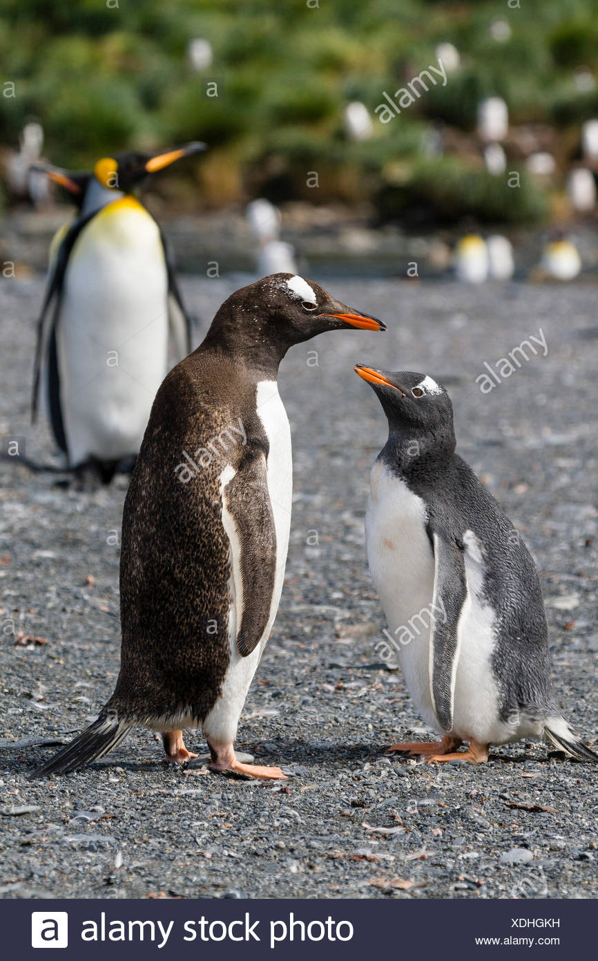 gentoo penguin (Pygoscelis papua), chick begging for food, Suedgeorgien, Gold Harbour - Stock Image