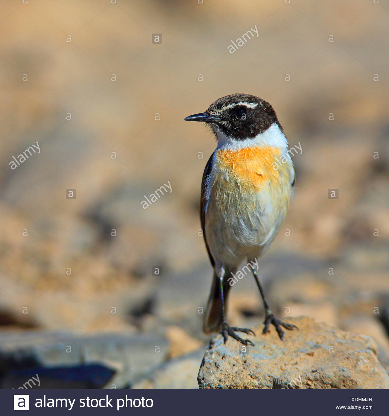 Adult canary chat island